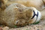 schlafende löwin poster