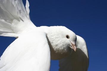 colombe en vol