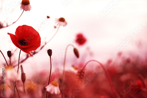 Foto op Canvas Poppy poppy field 1
