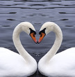 roleta: swans heart