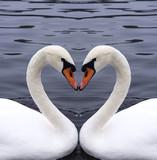 łabędzie serce