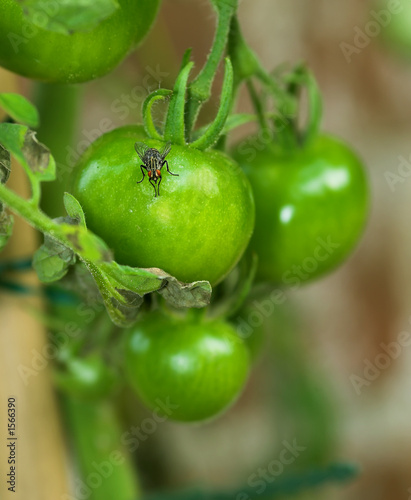 green tomatoes - and a fly