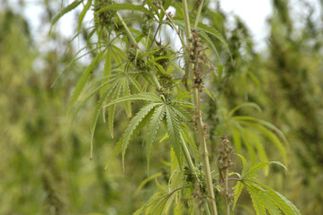 cannabis-16