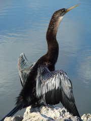 anhinga with long neck