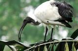 sacred ibis; aethiopicus threskiornis poster