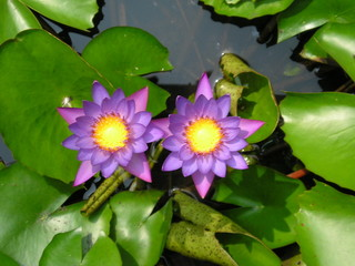 purple blue lotus flowers