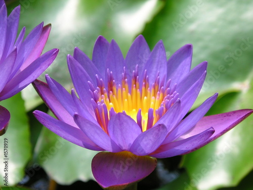 blue purple lotus flower