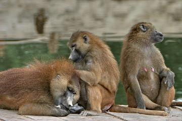 babouins s'épouillant