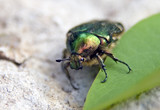 green chafer poster