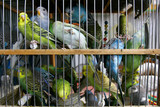 many budgerigars in cage poster