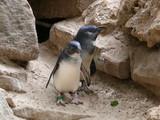 fairy penguins poster