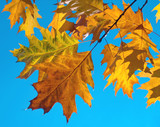 oak foliage poster