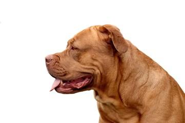 chien dogue de bordeaux
