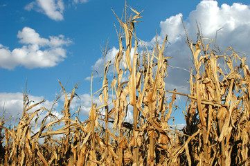 cornfield at harvest
