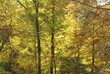 yellow leaves on fall trees