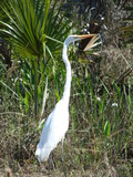snowy egret in the swamps poster