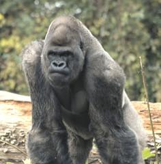 gorilla19