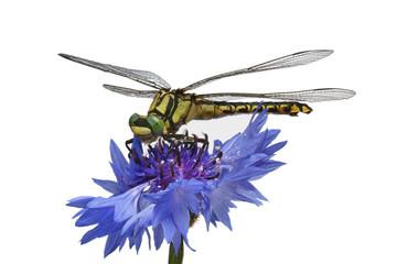 green-eyed dragonfly on a cornflower