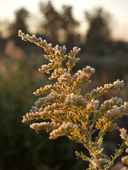 frost on  goldenrod  flower close-up