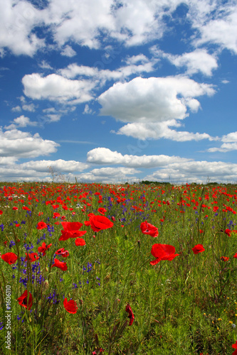 Leinwandbild Motiv landscape with poppy flowers ii