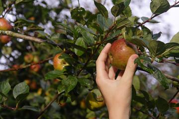 cueillir une pomme