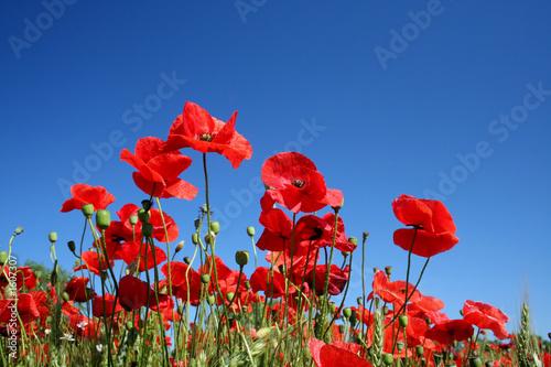 Leinwandbild Motiv poppy flowers