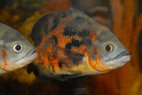 decorative fishes in a domestic aquarium. poster