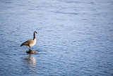 canada goose on river rock poster