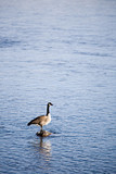 canada goose in river poster