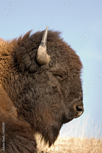 Fotobehang Bison bison sleeping