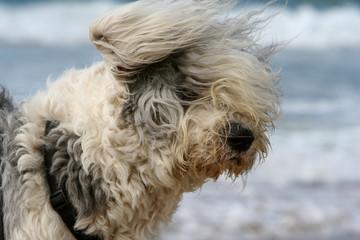 portrait of a sheepdog head