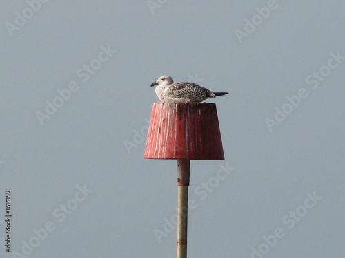 young gull on perch