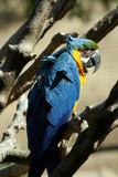 deep blue parrot poster