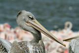 pelican beak poster