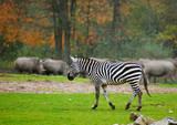 zebra in safari park poster
