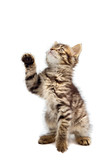adorable small cat on white bottom poster