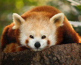 a small panda (firefox) in bronx zoo poster
