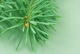 branch of fir-tree close up poster