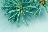 needles of fir tree poster