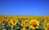 Fototapeta Kwiaty błękitne niebo zielony roślina