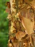 river birch bark poster