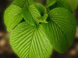 veined leaf cluster poster