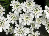 white flower cluster poster