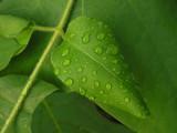 droplets on leaf poster