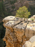 grand canyon tree on cliff poster
