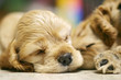 roleta: sleeping dog