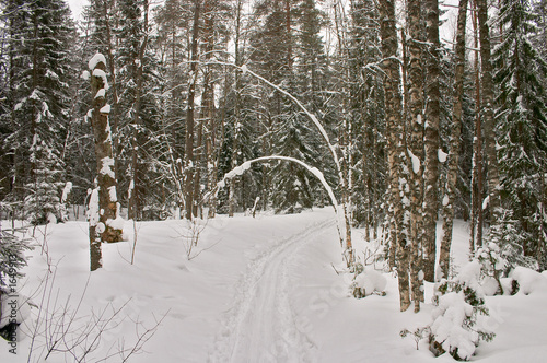 winter forest. arc