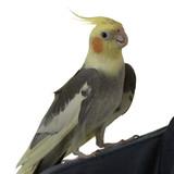 cockatiel on shoulder poster