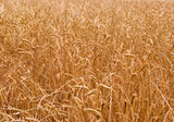 amber grain 2 poster