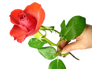 womans hand holding red rose